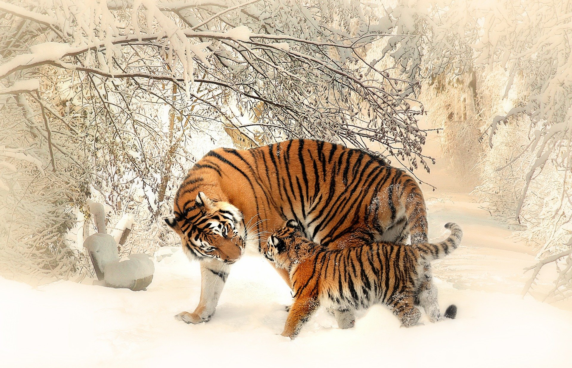 tiger-and-cub